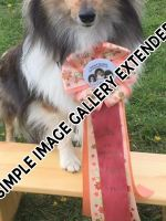 Shelties_006
