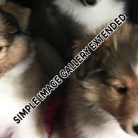 Shelties_011