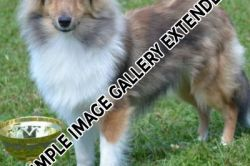 Shelties_001