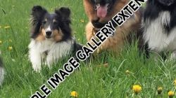 Shelties_008