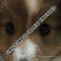 Shelties_009